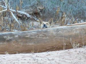 Dingo peeking